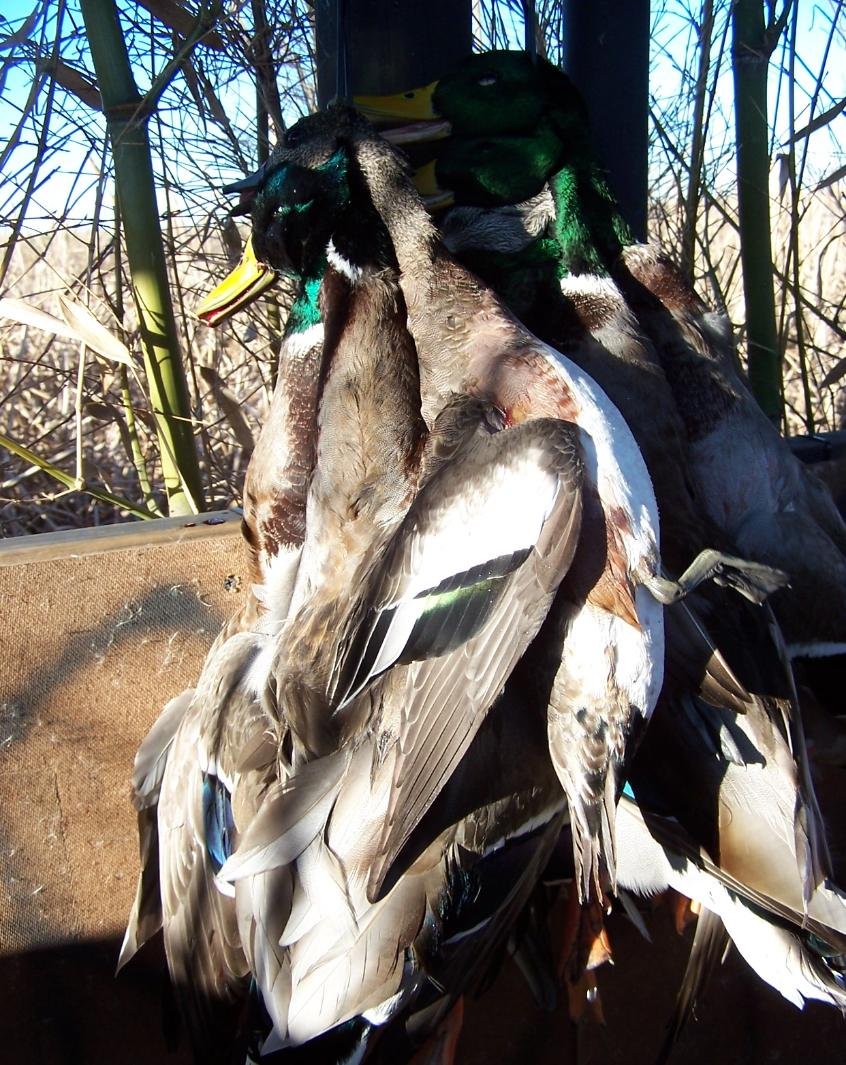 North Texas Duck Hunting|North Texas Duck Hunts|North Texas Guided Duck Hunting
