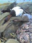 north texas duck hunts tropht can hunt